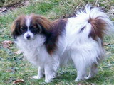 chien Phalène