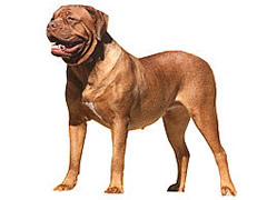 Dogue de Bordeaux